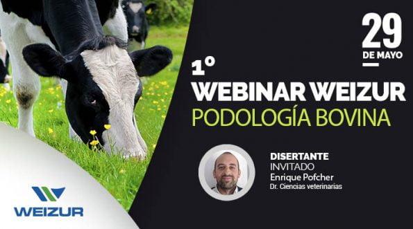 podología bovina